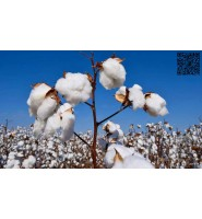 重磅!中国将限制纺织企业使用澳大利亚棉花!